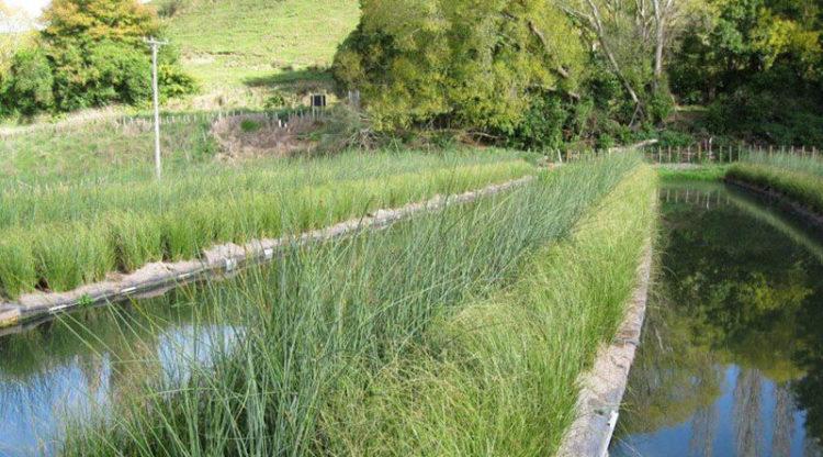 Aqua Nove: drijvend riet zorgt voor zuiverder water dankzij de Phytoraft